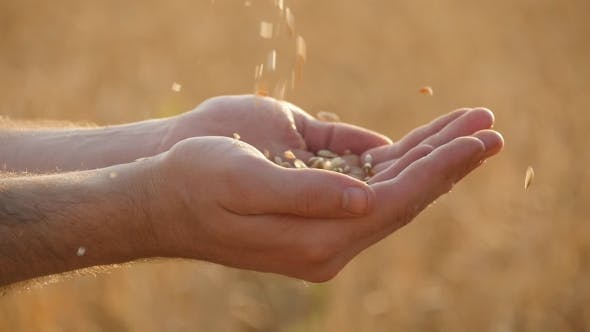 Thumbnail for Man Hands Pouring Ripe Wheat Golden Grains At Sunset. Slow motion