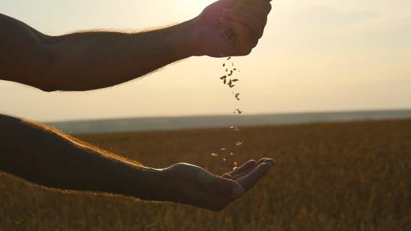 Thumbnail for Man Hands Pouring Ripe Wheat