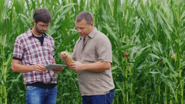 Thumbnail for Two Farmers Working Near The Cornfield. Take a Look At The Tablet, Studying Ear Of Corn