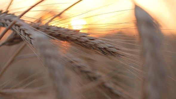 Thumbnail for Wheat 3