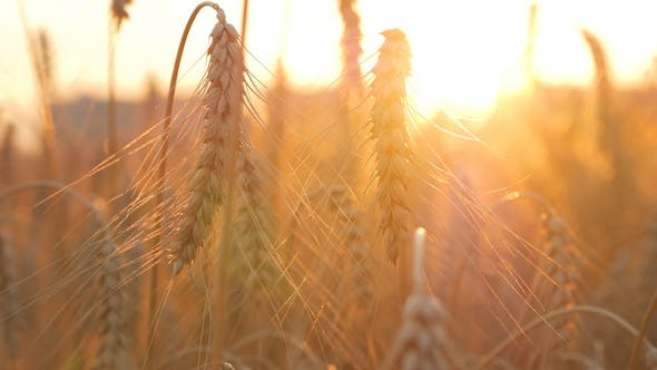 Thumbnail for Wheat On Field In Morning
