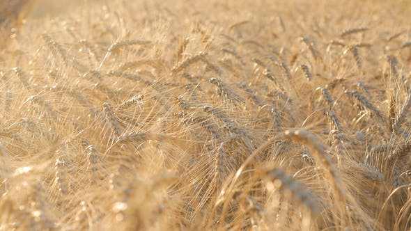 Thumbnail for Corn In Field