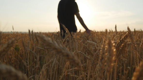 Thumbnail for Male Hand Moving Over Wheat Growing On The Field. Young Man Running Through Wheat Field, Rear View