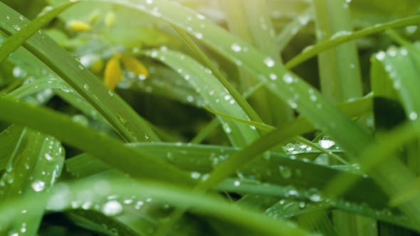 Dew On a Green Leaves