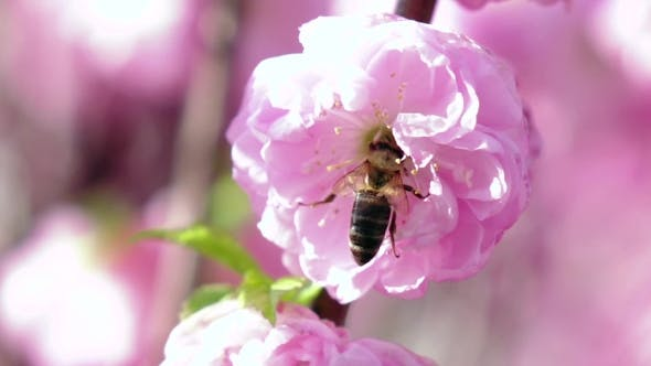 Thumbnail for Bee Pollinating Apricot Blossoms In Spring. .