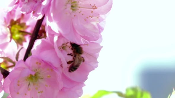 Thumbnail for Bee Collects Nectar. .