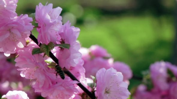 Thumbnail for Bees Collects Nectar On a Blossoming Apricot Branch