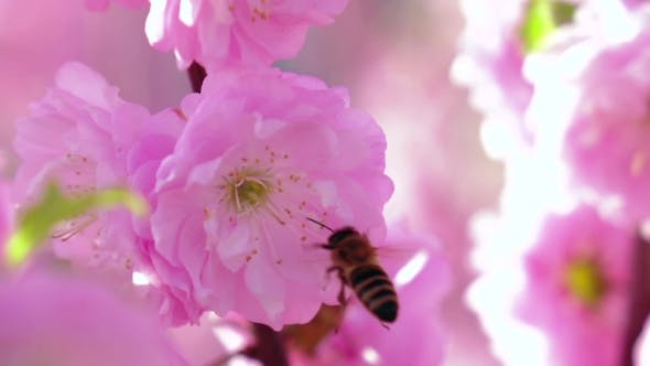 Thumbnail for Apricot Orchard. Apricot Flowers Blooming In Springtime