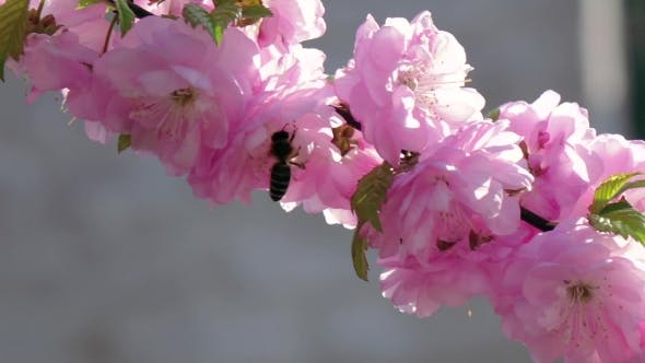 Thumbnail for Flowering Apricot. Bees. .