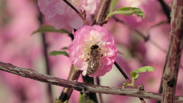 Honey Bee Pollinating An Apple Flower In Early Spring. .