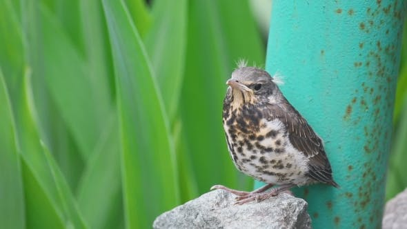 Thumbnail for Nestling Thrush Fieldfare Sitting On a Stone