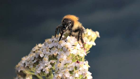 Thumbnail for Bumble Bee Goes on Flower