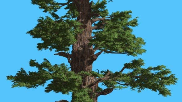 Thumbnail for Western Juniper Thick Trunk and Branches