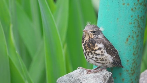 Cover Image for Nestling Thrush Fieldfare Sitting On a Stone