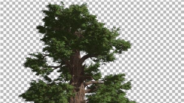 Thumbnail for Western Juniper Top of Coniferous Evergreen Tree