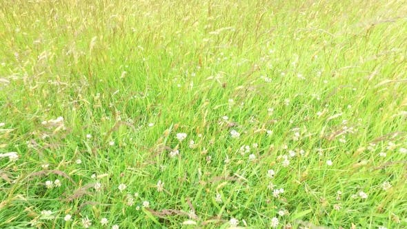 Thumbnail for Clover And Grass Growing On Meadow Or Field 49