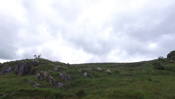 Thumbnail for Sheep Grazing On Hills Of Connemara In Ireland 16