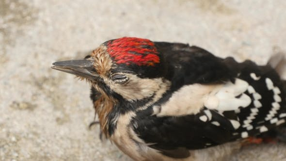 Thumbnail for Great Spotted Woodpecker Sitting