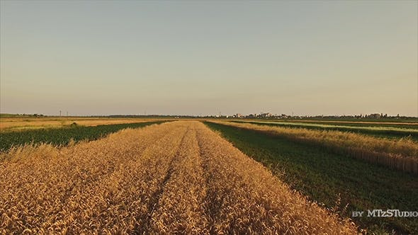 Thumbnail for Farmland with Corn and Wheat Plantation