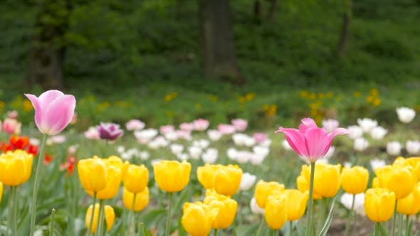 Thumbnail for Multiple Colored Tulips In a Garden Blowing In The Wind