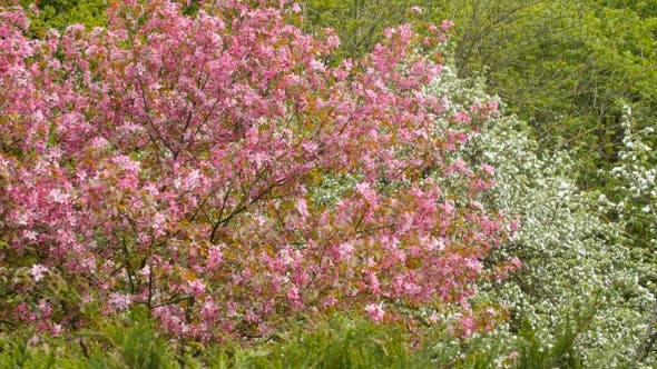 Thumbnail for Blooming Apple Tree With Pink Blossoms. Forest On Background