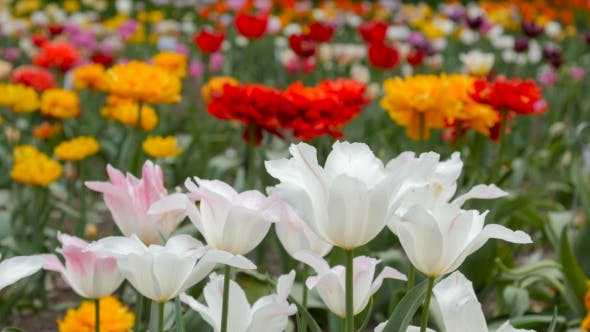 Thumbnail for Fresh Colorful Tulips In The Field.