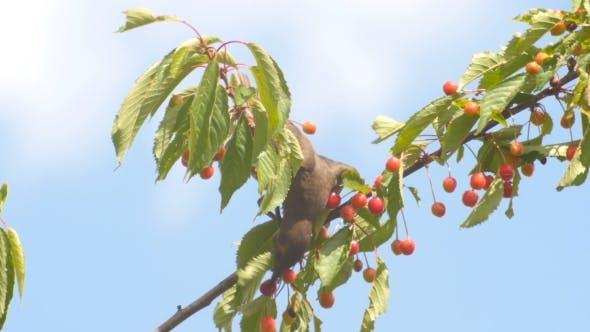 Thumbnail for Common Blackbird Eating Cherries