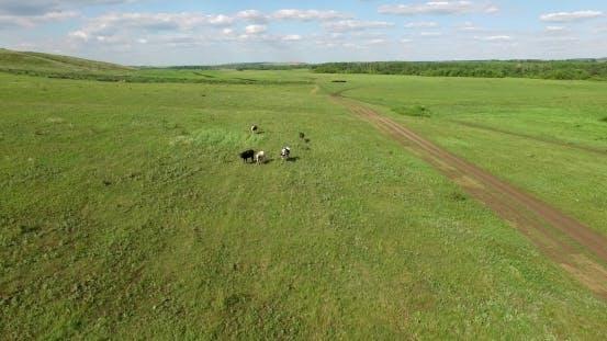 Cows Walk Across The Field