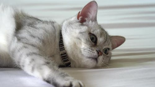 Cute British Cat Lying On White Bed