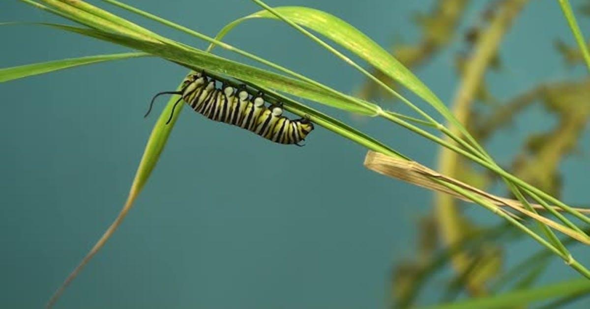 Monarch Caterpillar Larvae Worm Lone Resting in Summer in South Dakota