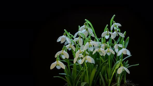 Thumbnail for Tender Snowdrops Flowers Blooming Fast on Black Background in Spring Nature