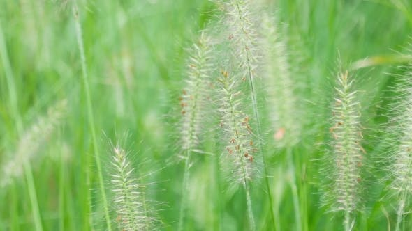 Thumbnail for Spikelets Of Grass Swaying In The Wind
