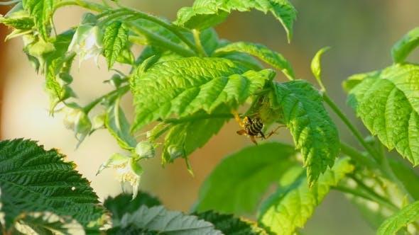 Cover Image for Common Wasp (Vespula Vulgaris)