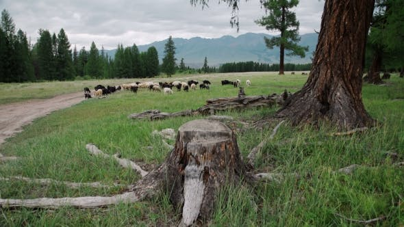 Thumbnail for Sheep Under The Tree In Autumn Landscape In The Romanian Carpathians
