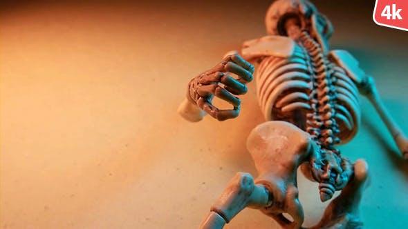 Human Skeleton 250