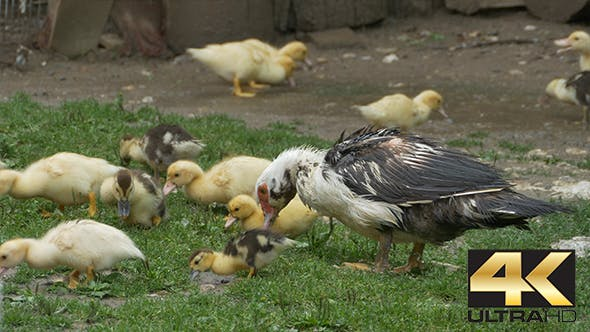 Thumbnail for Duck with Baby Nibbling Grass
