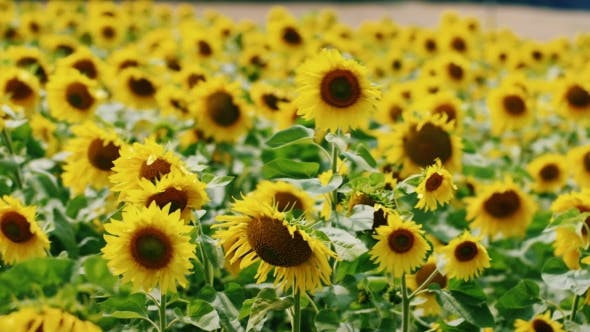 Cover Image for Bright Yellow Sunflowers Swaying In The Wind