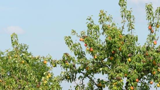 Thumbnail for Flock Of Birds Eating Pear