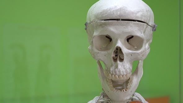 Thumbnail for Model Of a Human Skull