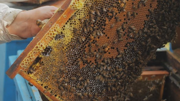 Thumbnail for Bees On Honeycomb. Honey Harvest. Beekeeper Lady Gently Removes Bees From The Frame.