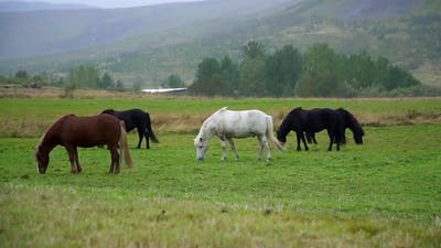 Group of Multicolored Icelandic Horses Graze in Pasture Iceland