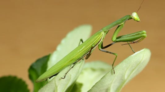Thumbnail for The Mantis Is Common On The Leaves Of Plants
