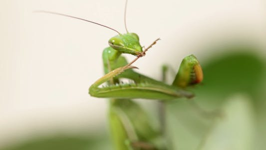 Thumbnail for The Mantis Is Common On The Leaves Of Plants 2