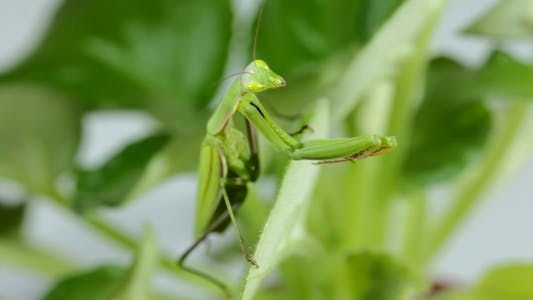 Thumbnail for The Mantis Is Common On The Leaves Of Plants 3