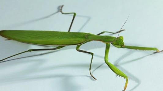 Thumbnail for The Common Praying Mantis On A White Background