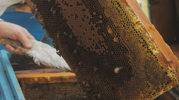 Cover Image for Bees On Honeycomb. Honey Harvest. Beekeeper Lady Gently Removes Bees From The Frame.