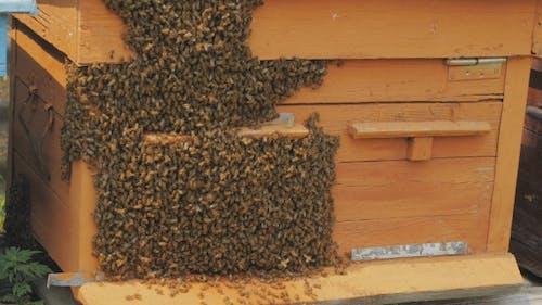 Swarm Of Bees On a Bee Box At a Hawaii Bee Farm