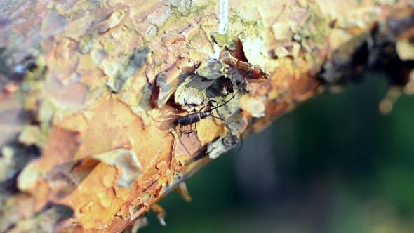 View Of Black Bug With Long Antenna Moving On Bark Of Tree. Summer Sunny Day. Insect. Nature