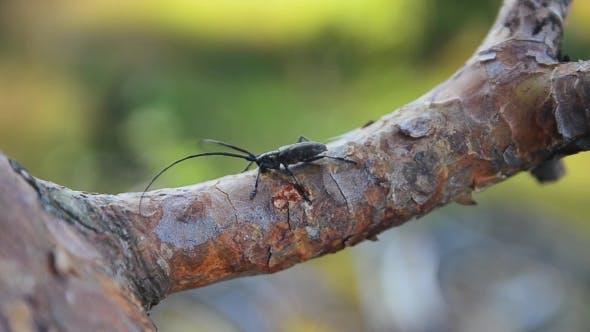 Thumbnail for Black Bug Sitting On Bark Of Tree