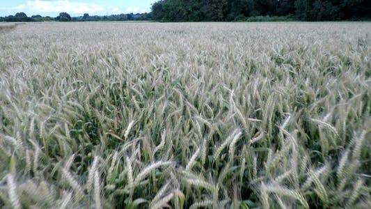 Thumbnail for Aerial Footage Of Wheatfield 2
